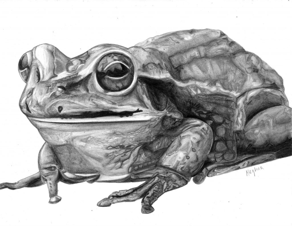 Meghna created an amazing pencil drawing using quality graphite to render this awesome drawing of a frog at Oam Studios Art Academy in Pleasanton CA.